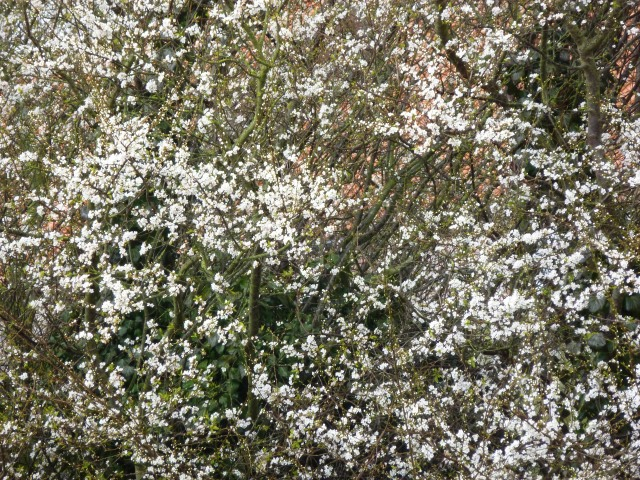 Glorious Blackthorn