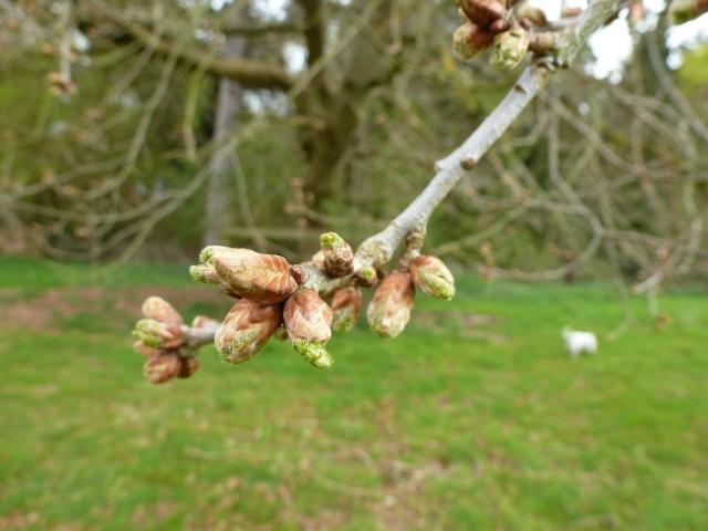 English Oak buds