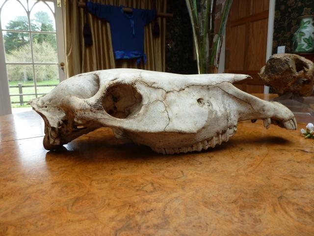Modern horse skull