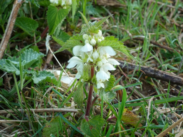 the white dead nettle