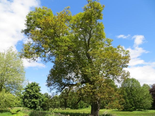 The Old Walnut Tree
