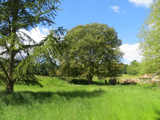 The New Walnut Tree