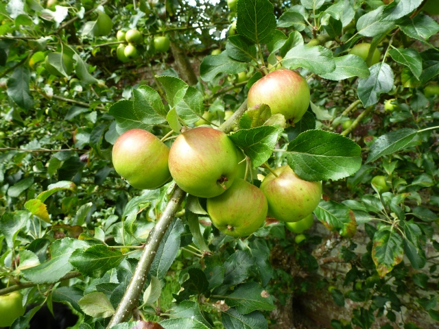 Apples, almost ripe