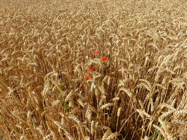 Wheat in Hall Field