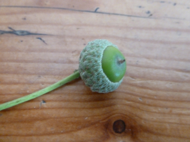 Brand new acorn