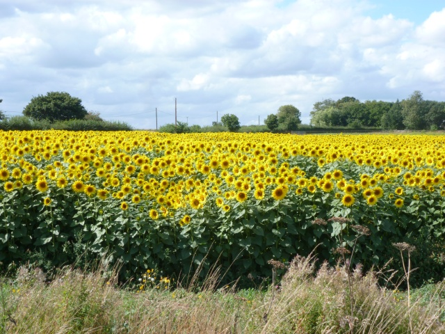 Sunflowers on the way to Norwich