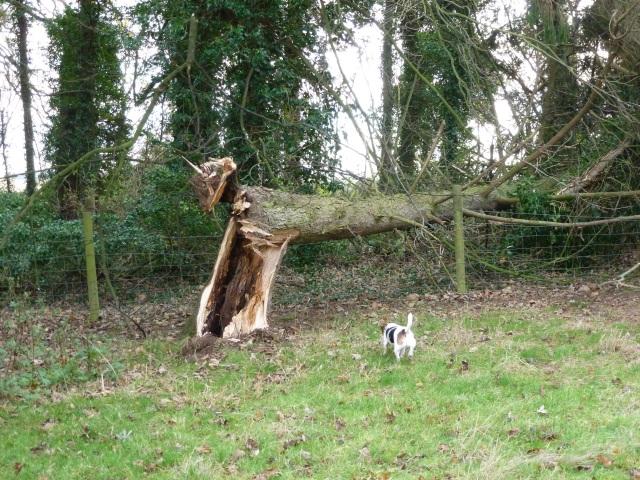 Fallen evergreen