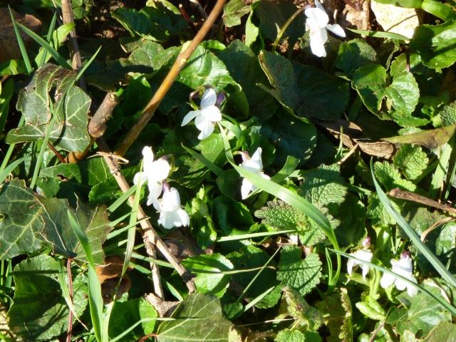 White Wood Violets