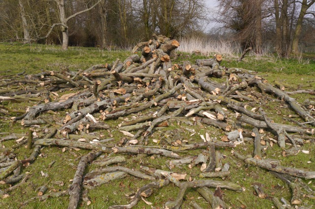 She was so dead and dry that when she fell her upper branches shattered into fire-log pieces!