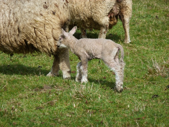 Our first lamb of 2014